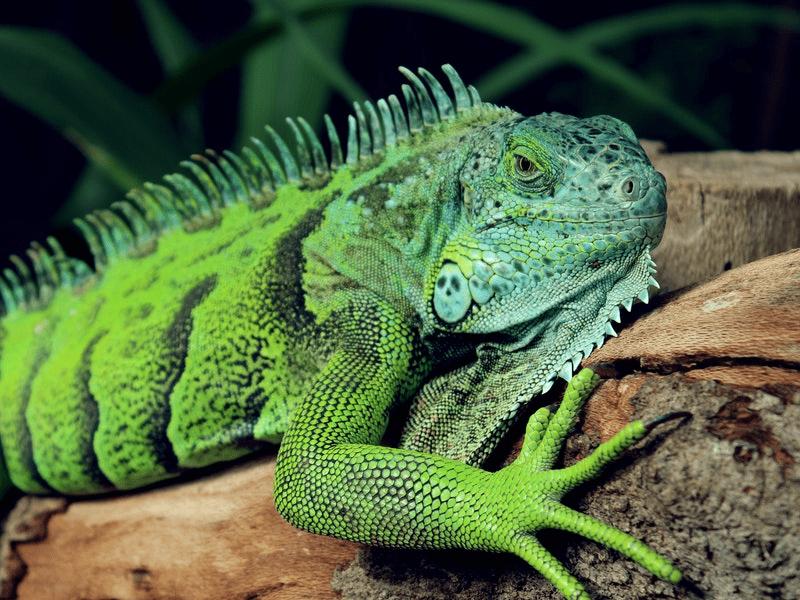 Iguanas Beware The Cull Cometh!